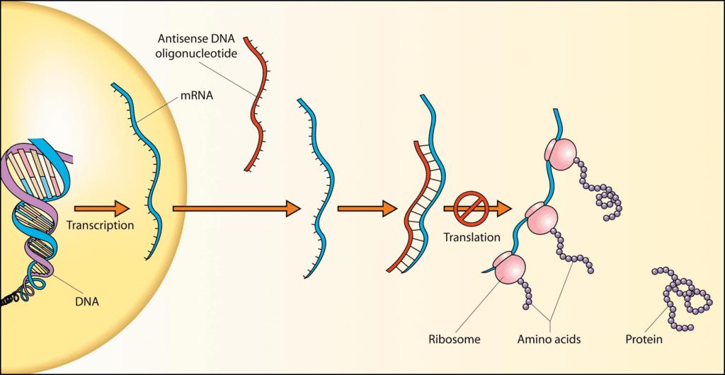 Wikimedia, Antisense DNA oligonucleotide